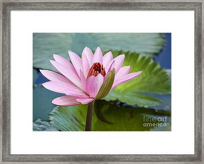 Almost In Full Bloom Framed Print