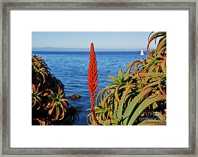 Aloe Arborescens Flowering At Pacific Grove Framed Print