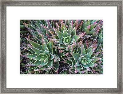 Aloe Trio Framed Print by Loree Johnson