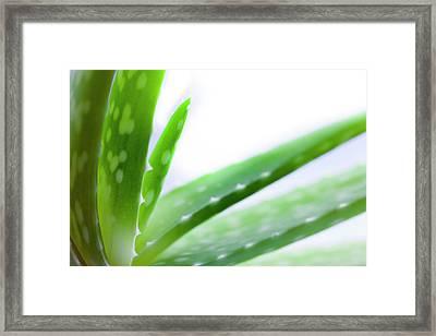 Aloe Vera Plant Framed Print by Alex Hyde