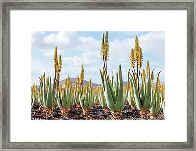 Aloe Vera Plantation Framed Print by Wladimir Bulgar