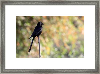 Framed Print featuring the photograph Alone - Black Drongo  by Ramabhadran Thirupattur