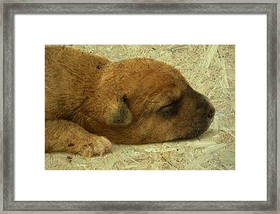 Alone Little Dog Is Sleep Framed Print by Wissanu Phiphithaphong