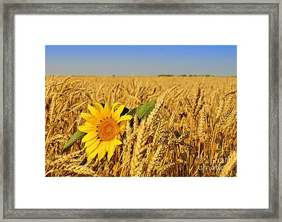 Alone Sunflower Sunflower In Wheat Framed Print by Boon Mee