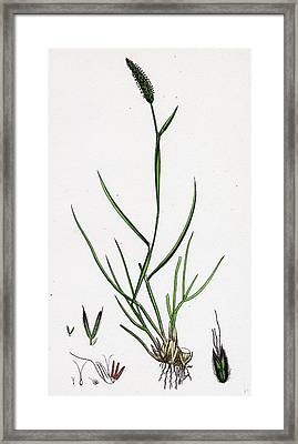 Alopecurus Bulbosus Tuberous Fox-tail-grass Framed Print