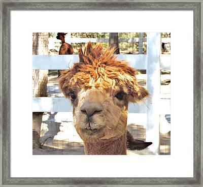 Alpaca Bed Head Framed Print by Helen Carson