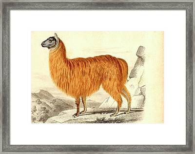 Alpaca Framed Print by Collection Abecasis
