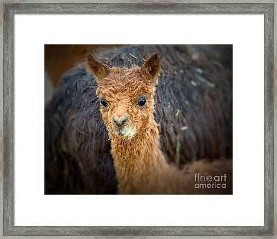 Alpaca Cria  Framed Print