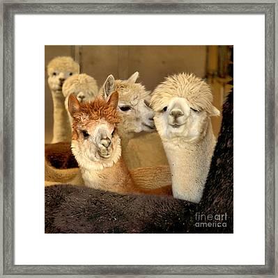Alpaca Friends Framed Print