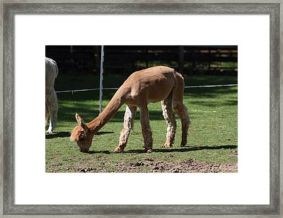 Alpaca - National Zoo - 01133 Framed Print by DC Photographer