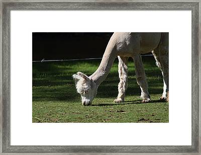 Alpaca - National Zoo - 01134 Framed Print by DC Photographer