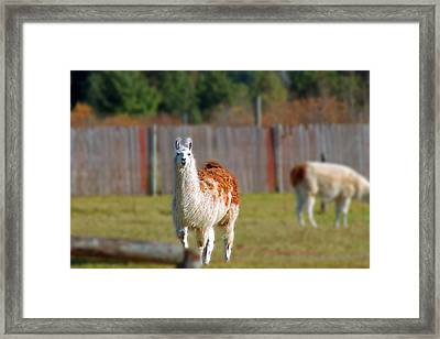 Alpaca Framed Print by Rhonda Humphreys