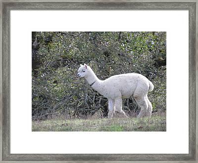 Alpaca Stroll Framed Print