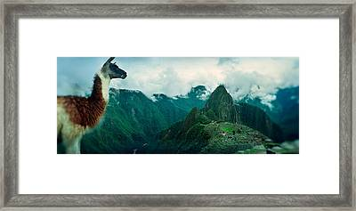 Alpaca Vicugna Pacos On A Mountain Framed Print by Panoramic Images