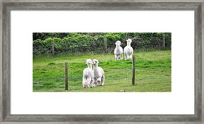 Alpacas In Ireland Framed Print