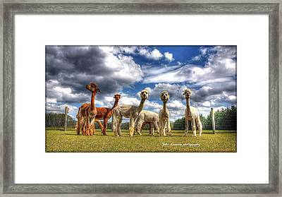 Alpacas Framed Print