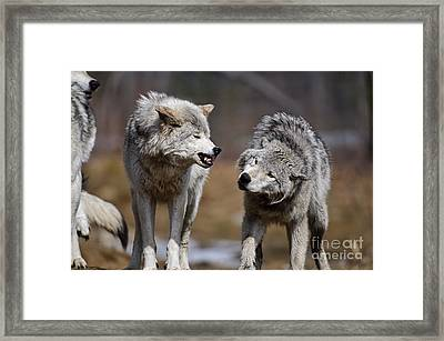 Framed Print featuring the photograph Alpha Displeasure by Wolves Only