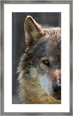 Alpha Male Wolf - Don't Mess With Me Framed Print by Gill Billington