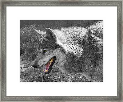 Alpha Male Wolf - You Look Tasty 2 Framed Print