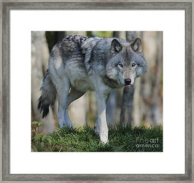 Alpha... Framed Print by Nina Stavlund