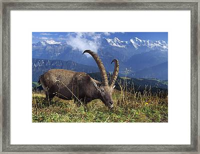 Alpin Ibex Male Grazing Framed Print by Konrad Wothe