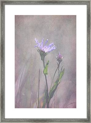 Alpine Aster Framed Print by Angie Vogel