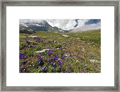 Alpine Bellflowers (campanula Tridentata) Framed Print