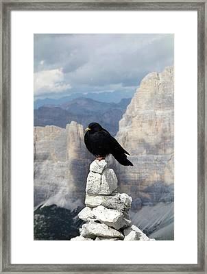 Alpine Chough Framed Print by Cordelia Molloy