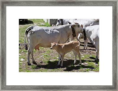 Alpine Cows Framed Print by Bob Gibbons