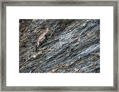 Alpine Ibex Framed Print by Alex Hyde