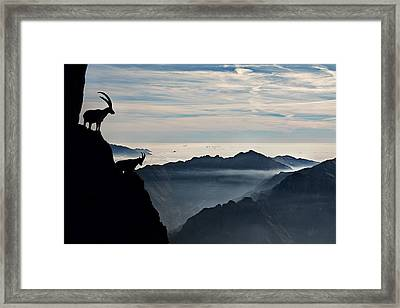 Alpine Ibex Framed Print by Francesco Vaninetti