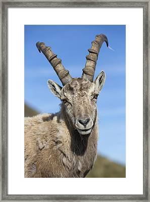 Alpine Ibex  In The Swiss Alps Framed Print by Bernd Rohrschneider