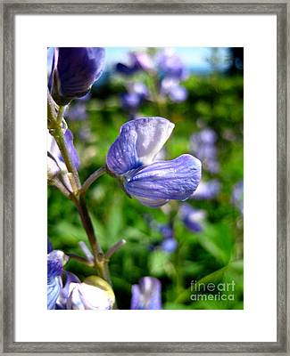 Framed Print featuring the photograph Alpine Lupine by Kathy Bassett