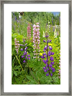 Framed Print featuring the photograph Alpine Lupines by Maria Janicki