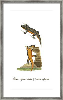 Alpine Newt Framed Print