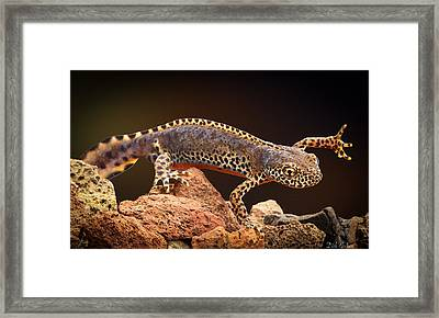 Alpine Newt Framed Print by Dirk Ercken
