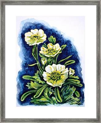 Alpine Ranunculus Framed Print by Zaira Dzhaubaeva