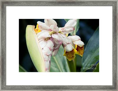 Alpinia Zerumbet - Shell Ginger - Iao Valley Wailuku Maui Hawaii Framed Print by Sharon Mau