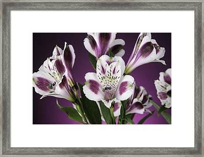 Alstro 01 Framed Print