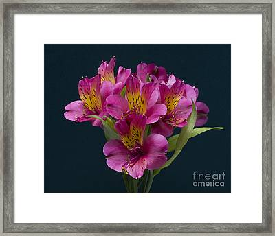 Framed Print featuring the photograph Alstroemeria Cluster by ELDavis Photography