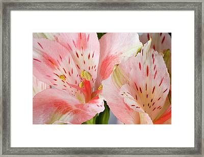 Alstroemeria Close-up, Marion County Framed Print
