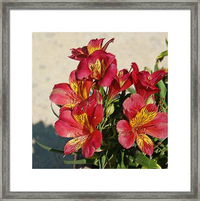 Alstroemeria In Pastel Framed Print by Suzanne Gaff