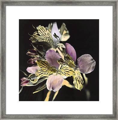 Alstroemeria Framed Print
