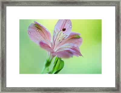 Alstroemeria Macro 4. Floral Discovery Framed Print by Jenny Rainbow