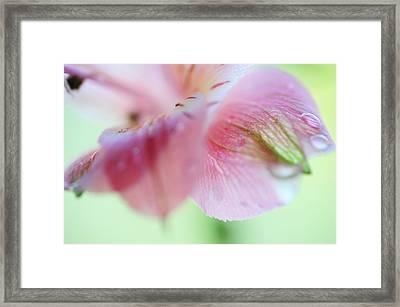 Alstroemeria Macro 7. Floral Discovery Framed Print by Jenny Rainbow