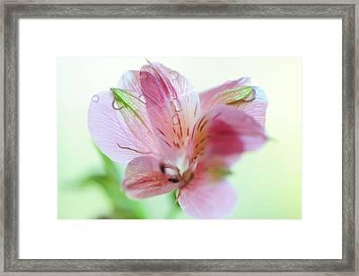 Alstroemeria Macro. Floral Discovery Framed Print by Jenny Rainbow