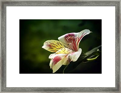 Alstroemeria One Framed Print