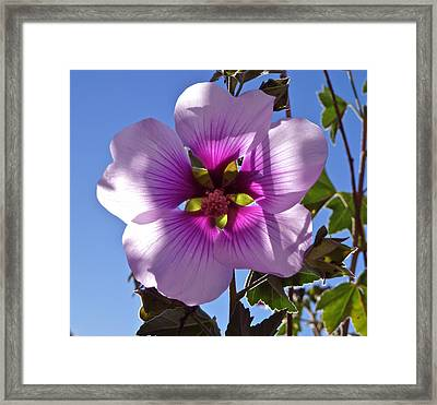 Althea Flower Framed Print by K L Kingston