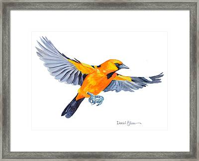 Da200 Altimira Oriole By Daniel Adams  Framed Print