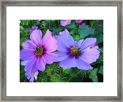 Always Loved Cosmos Framed Print by Shirley Sirois